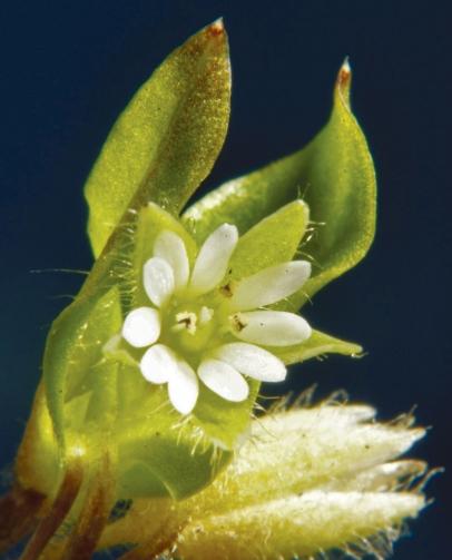 Missouri Chickweed