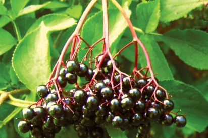 Missouri elderberries